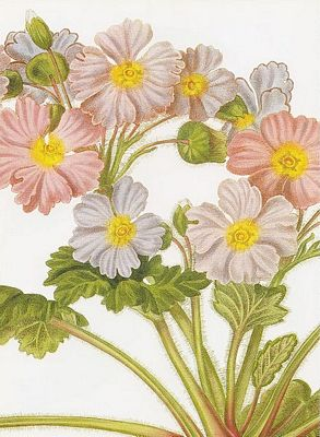 Primrose, Primula sinensis, a hand colored engraving from John Lindley's Collectanea botanica (1821), a plant both named and drawn by Lindley