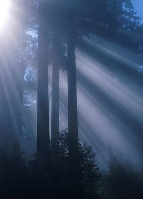 Redwood sunlight, with fog and sun rays, in Redwood National Park.  This image is in the public domain, as it is a work of a National Park Service employee.