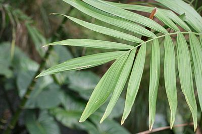 King, Palm frond detail, image released to public domain by its author Kahuroa