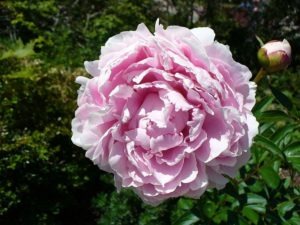 pink rose, image released to public domain by its author Neelix