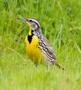 Western Meadowlark, photo by Kevin Cole from Pacific Coast, USA, published under Creative Commons Attribution Generic License