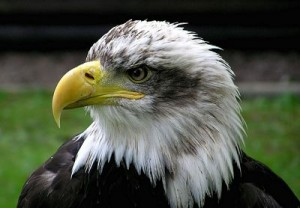 Bald Eagle closeup, image released to public domain by its author Adrian Pingstone