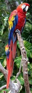 VDD Scarlet Macaw, Yucatan, Mexico, published by author Tony Hisgett under the Creative Commons Attribution 2.0 Generic license